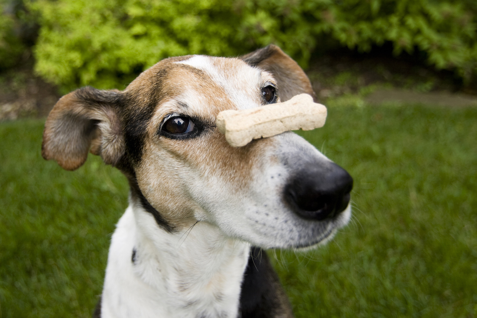 Photo of dog with milk bone on nose